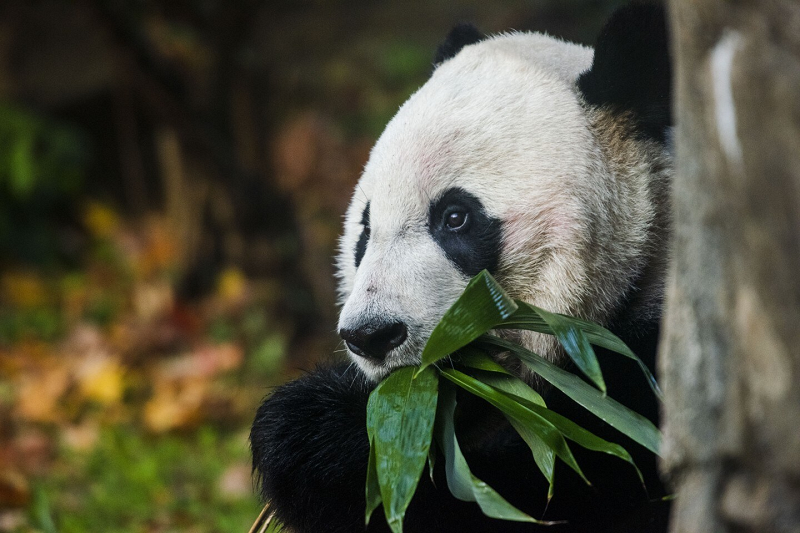 People from all walks of life watched Bei Bei enjoy his last breakfast at Washington D.C.'s National Zoo. [Photo Credit: Amanda Voisard/for The Washington Post]